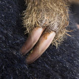 Preguiça Dois-toed bebê - didactylus do Choloepus fotos de stock