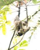 Preguiça e seu bebê Imagem de Stock Royalty Free