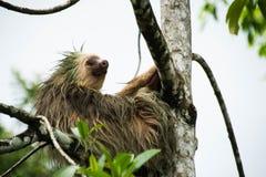 Preguiça em uma árvore Fotos de Stock