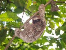 Preguiça nova que escala em um ramo na selva Fotos de Stock Royalty Free