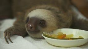 preguiça pequena Dois-toed no tempo de alimentação, Costa Rica vídeos de arquivo