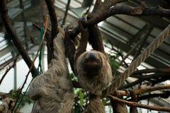 Preguiça preguiçosa que pendura na árvore e que olha Fotos de Stock Royalty Free