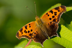 Pregunta Mark Butterfly Imágenes de archivo libres de regalías