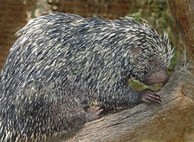 Prehensile-Tailed Porcupine. Close up portrait of tree porcupine Stock Image