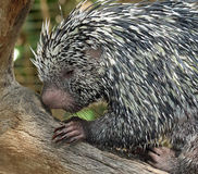 Prehensile-Tailed Porcupine. Close up portrait of tree porcupine Royalty Free Stock Photos