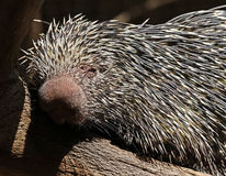 Prehensile-Tailed Porcupine. Close up portrait of tree porcupine Stock Photography