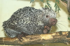 Prehensile-tailed porcupine. Sitting on the wood Stock Photo