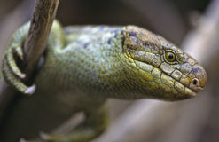 Prehensile-tailed skink Stock Photo