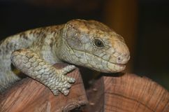 Prehensile tailed skink2. A prehensile tailed skink rests on a log Royalty Free Stock Photo