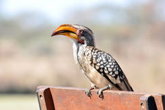 Prehistoric Africa: Hornbill. Southern yellowbilled hornbill in the Kruger Park, South Africa royalty free stock photo