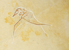 Prehistoric background. Fossilized bird against stone texture suitable as prehistoric background Stock Photo