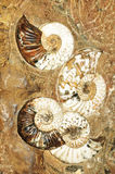 Prehistoric background. With snail fossils Royalty Free Stock Images