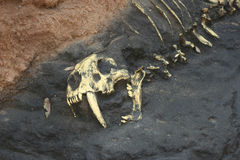 Prehistoric Bones in Rock. A Replica of prehistoric bones embedded in rock Royalty Free Stock Images