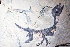 Prehistoric Dinosaur fossil enclosed in stone rock.  royalty free stock photo