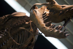 Prehistoric Dinosaur Fossile Royalty Free Stock Photos