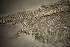 Prehistoric Dinosaur Fossile. Prehistoric Skeleton Dinosaur Fossile Photo Stock Photography