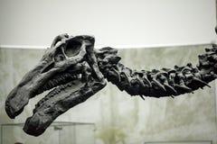 Prehistoric Dinosaur Fossile. Prehistoric Skeleton Dinosaur Fossile Photo Stock Photo