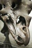Prehistoric Dinosaur Fossile. Prehistoric Skeleton Dinosaur Fossile Photo Stock Images