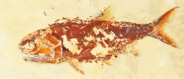 Prehistoric fish. Fossil texture suitable as background royalty free stock images