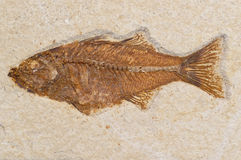 Prehistoric fish fossil sandstone rock Royalty Free Stock Photography