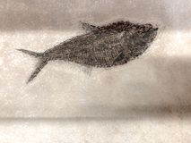 Prehistoric Fish Fossil on Textured Background stock image