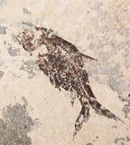 Prehistoric fish imprint. Beautiful prehistoric fish imprint on the stone in closeup royalty free stock photos