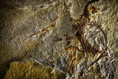 Prehistoric Fossil Background Royalty Free Stock Photo