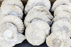 Prehistoric fossils Royalty Free Stock Images