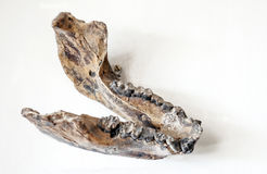 Prehistoric jaw Royalty Free Stock Images