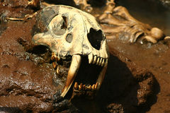 Prehistoric Saber Tooth Bones. A Replica of saber tooth tiger skull embedded in rock Royalty Free Stock Images