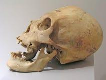 Prehistoric skull. Closeup of a prehistoric skull royalty free stock photos
