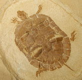 Prehistoric Turtle Fossil Model Royalty Free Stock Photo