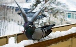 Preliminares e pombos do beijo no inverno no balcão imagens de stock royalty free