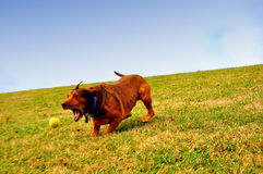 Prelude to a Chomp. A dog, running down a hill, about to catch his tennis ball Royalty Free Stock Photo