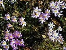 Première fleur de fleur de ressort Images libres de droits