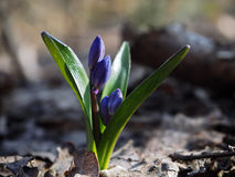 Première fleur de perce-neige au soleil Photos libres de droits