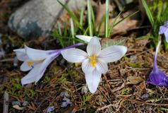 Première fleur de ressort Photo libre de droits