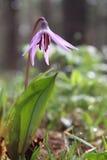 Première fleur de ressort dans la forêt sauvage Photographie stock libre de droits