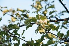 Première fleur sur le pommier images libres de droits