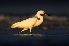 Première lumière avec l'oiseau Héron avec le soleil dans le lever de soleil de matin Héron de Milou, thula d'Egretta, dans l'habi Image stock