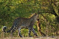 Première mise à mort pour l'petit animal de léopard Images libres de droits