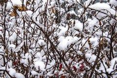Première neige d'hiver sur des buissons photos libres de droits