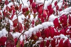 première neige d'hiver sur des buissons avec les feuilles rouges images libres de droits