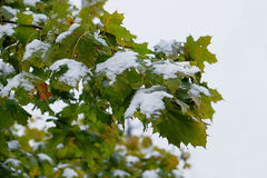 Première neige sur des feuilles d'érable images stock
