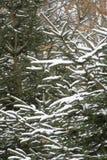 Première neige sur la branche de pin image libre de droits
