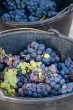 Première nouvelle récolte de raisin de cuve noir en Provence, France, prête photo libre de droits