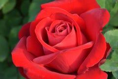 Première Rose rouge 01 Images libres de droits