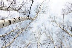 Première source dans une forêt de bouleau Photo stock