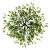 Première vue d'arbre de saule d'isolement sur le blanc Image stock
