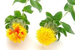 Première vue de deux fleurs de carthame photographie stock libre de droits